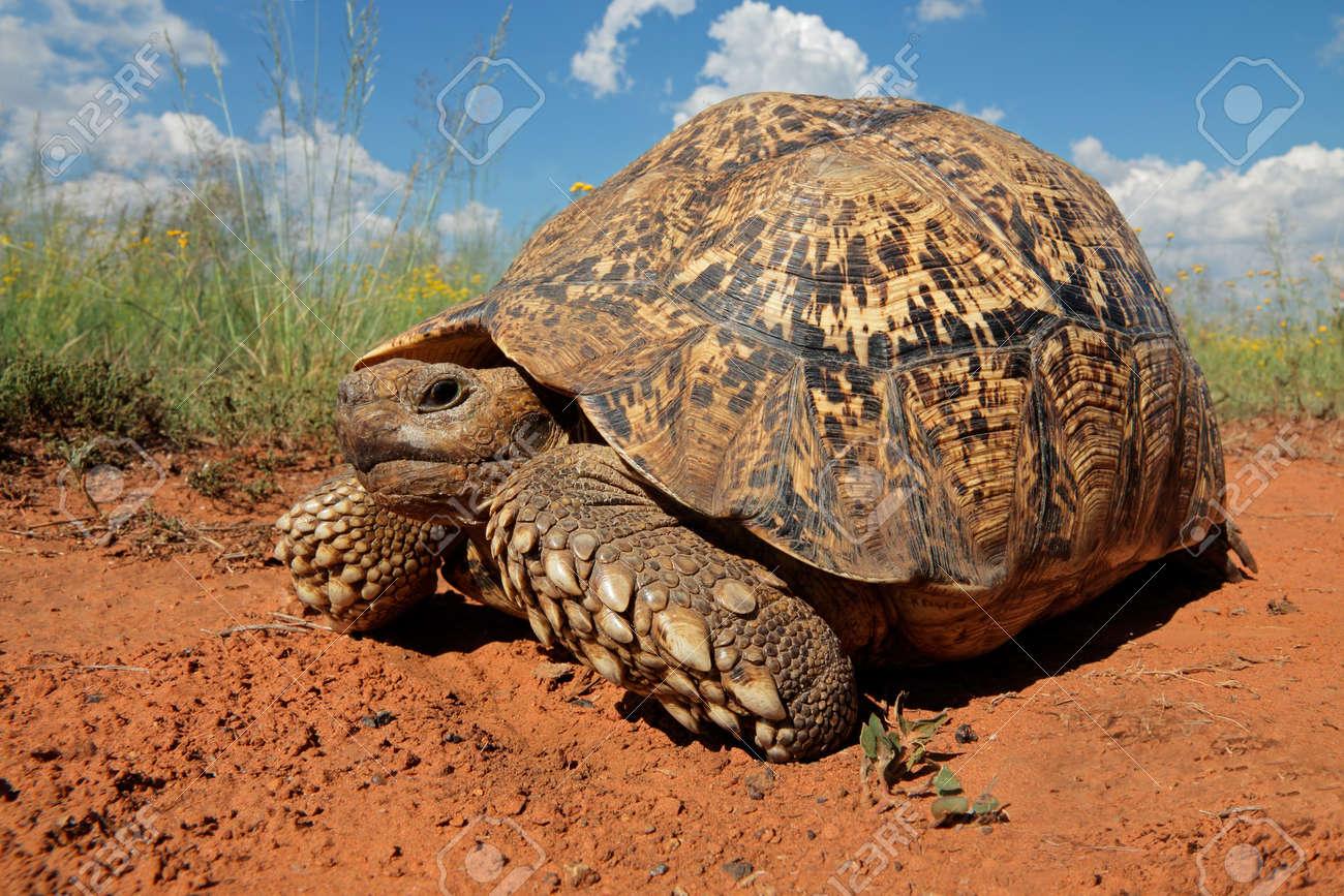 Leopard Tortoise Stigmochelys Pardalis South Africa