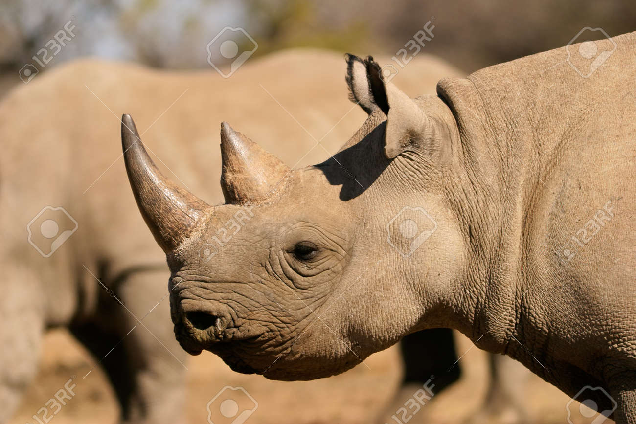 Portrait of a black (hooked-lipped) rhinoceros (Diceros bicornis), South Africa Stock Photo - 14438201