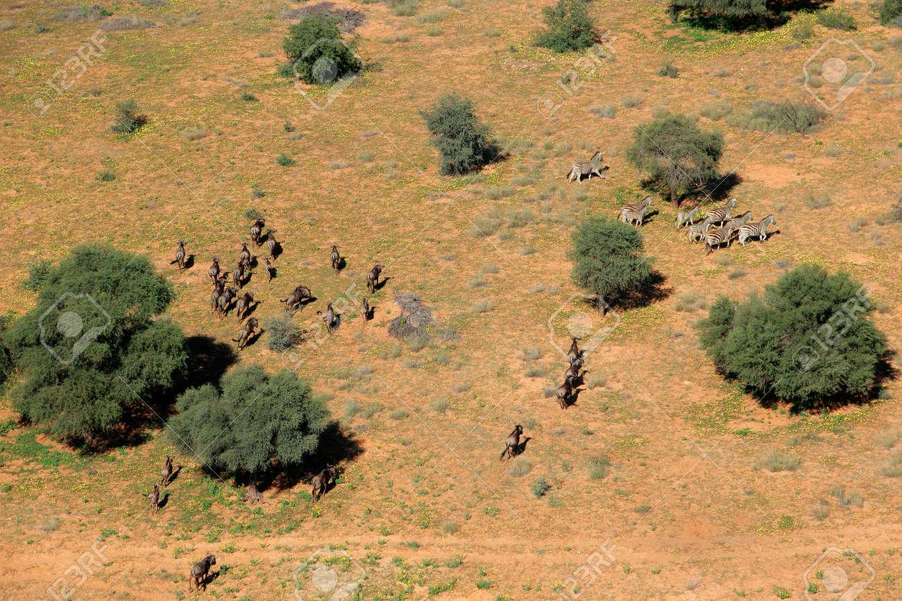 Aerial view of plains zebras (Equus quagga) and blue wildebeest (Connochaetes taurinus), South Africa - 16194586