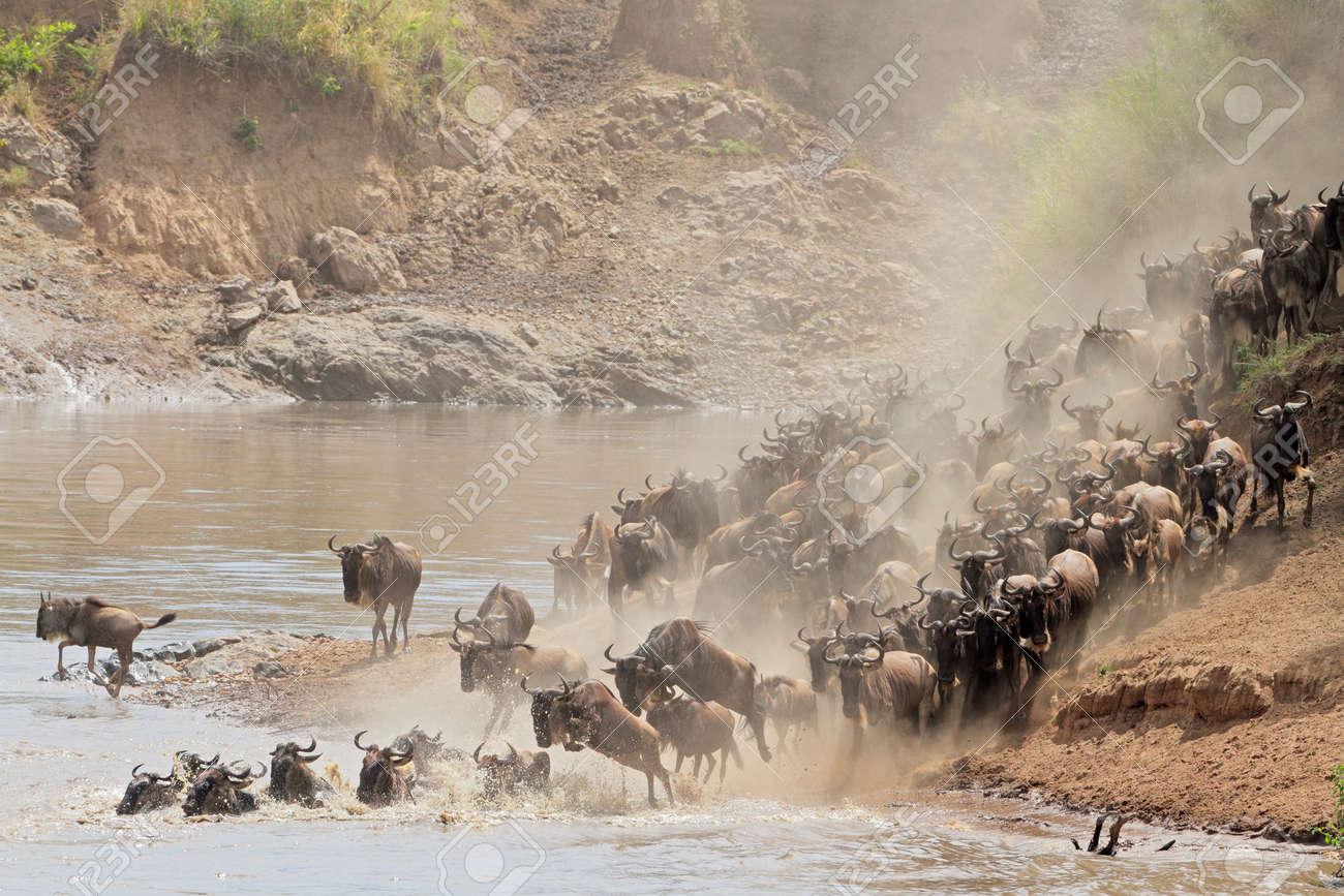Migratory blue wildebeest - Connochaetes taurinus - crossing the Mara river, Masai Mara National Reserve, Kenya - 24276854