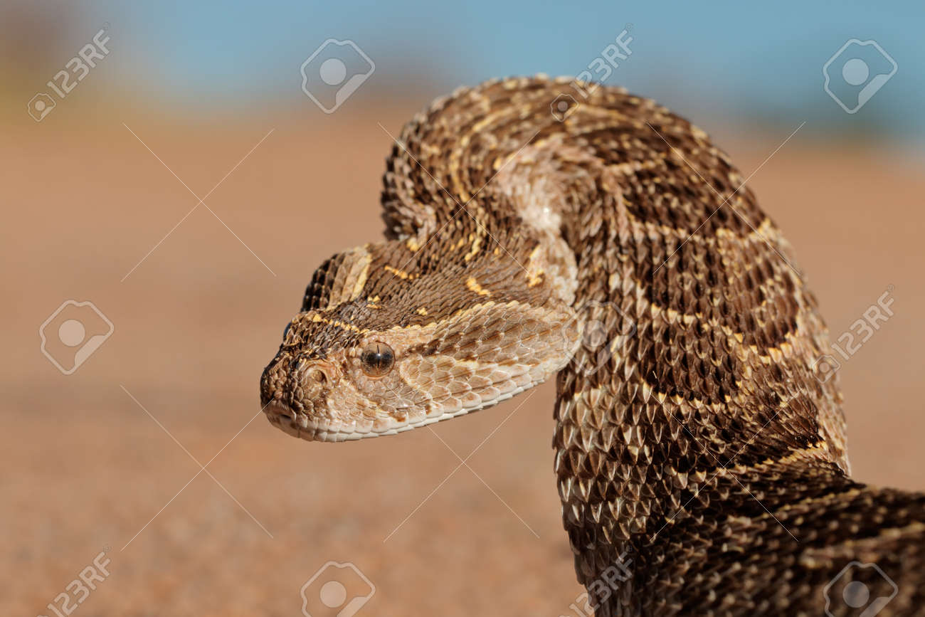 Portrait of a puff adder (Bitis arietans) in defensive position, southern Africa - 29224912