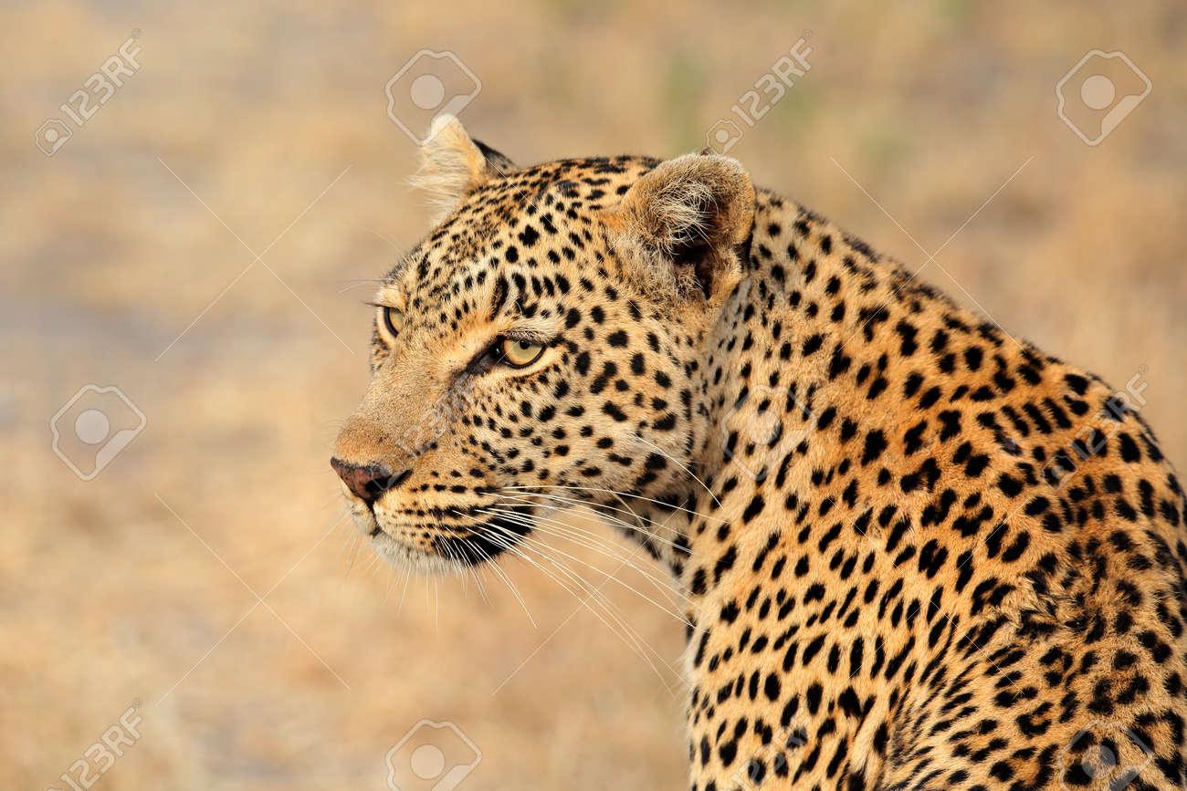 Portrait of a leopard (Panthera pardus), Sabie-Sand nature reserve, South Africa - 30778390