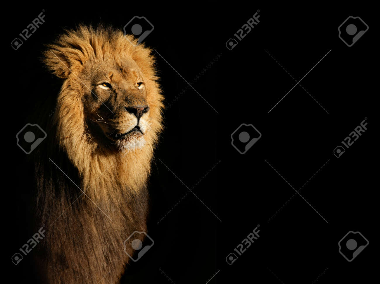 Portrait of a big male African lion Panthera leo against a black background, South Africa - 52518101