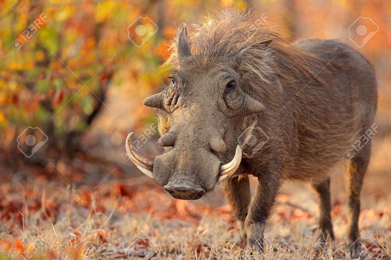 Warthog (Phacochoerus africanus) in natural habitat, Kruger National Park, South Africa - 57653236