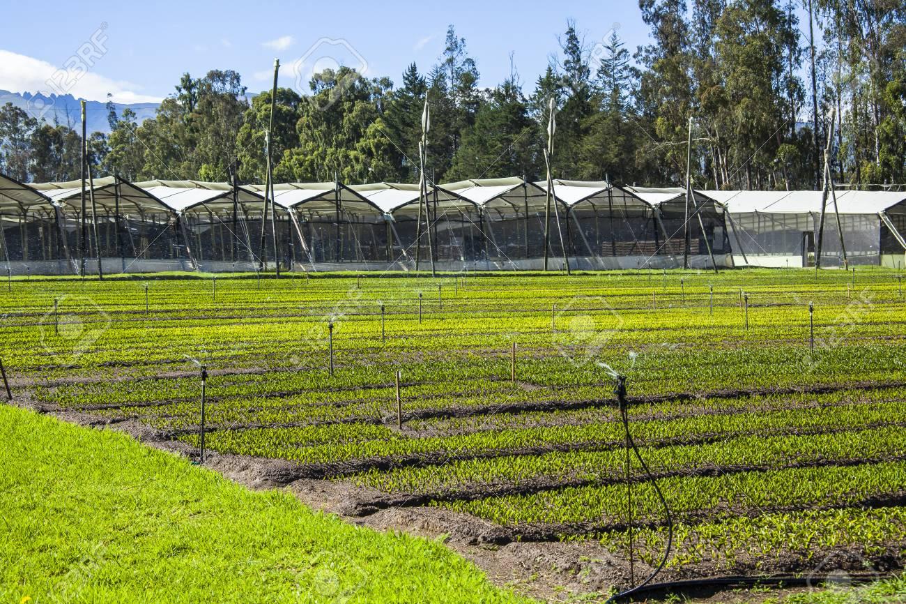 calla lily plantation in Guayllabamba's farm