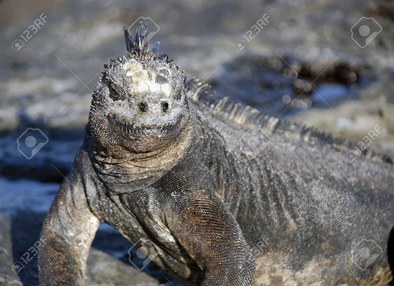 The Marine Iguana Can Only Be Found In The Galapagos Islands