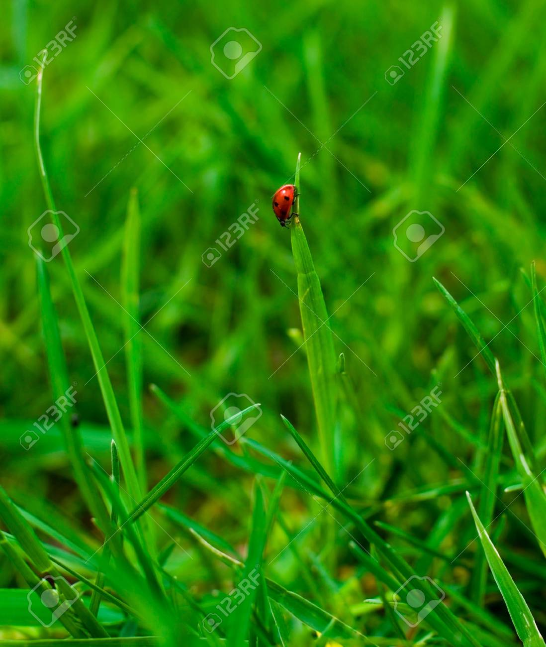 Lady-bird in summer grass Stock Photo - 3123471