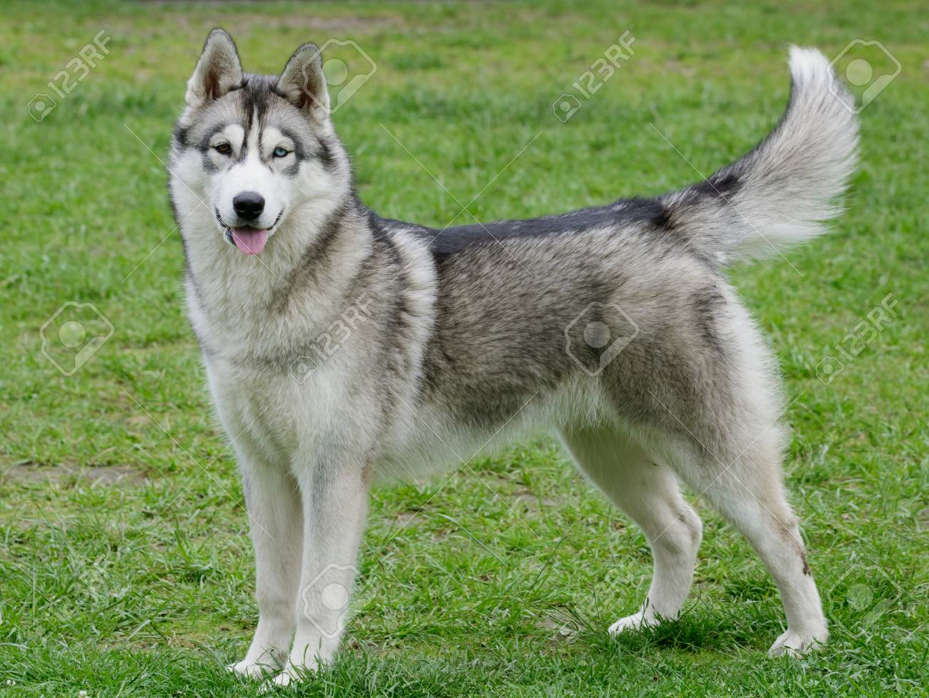 Portrait Of Beautiful Siberian Husky Dog Stock Photo Picture And