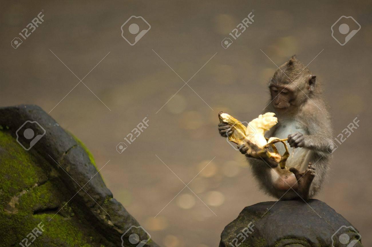 Balinese monkey with banana, Ubud Monkey Forest, Bali Stock Photo - 15858643