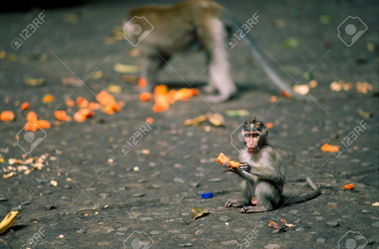 Macaque monkeys at the Ubud Monkey Forest Stock Photo - 16125835