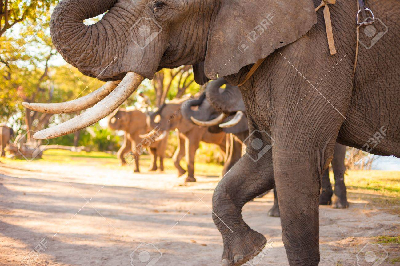 Group of elephants saluting and making noise