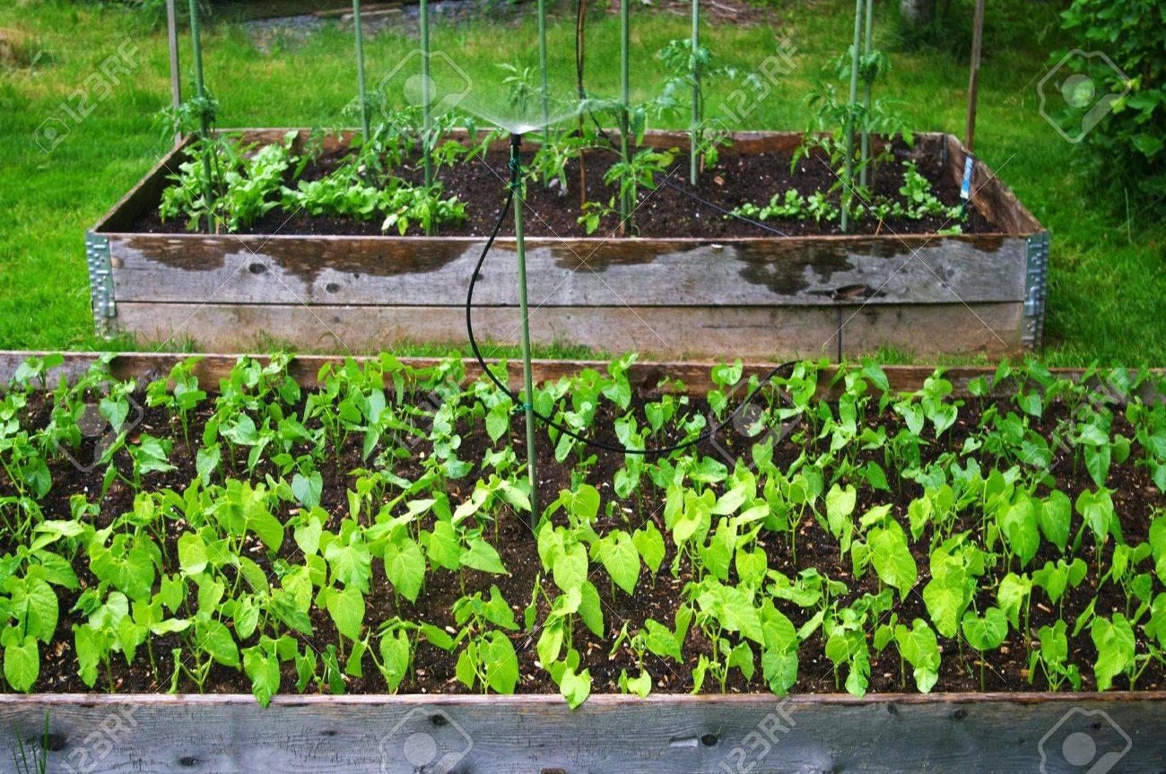 deux plates-bandes surélevées de haricots et de tomates à arroser