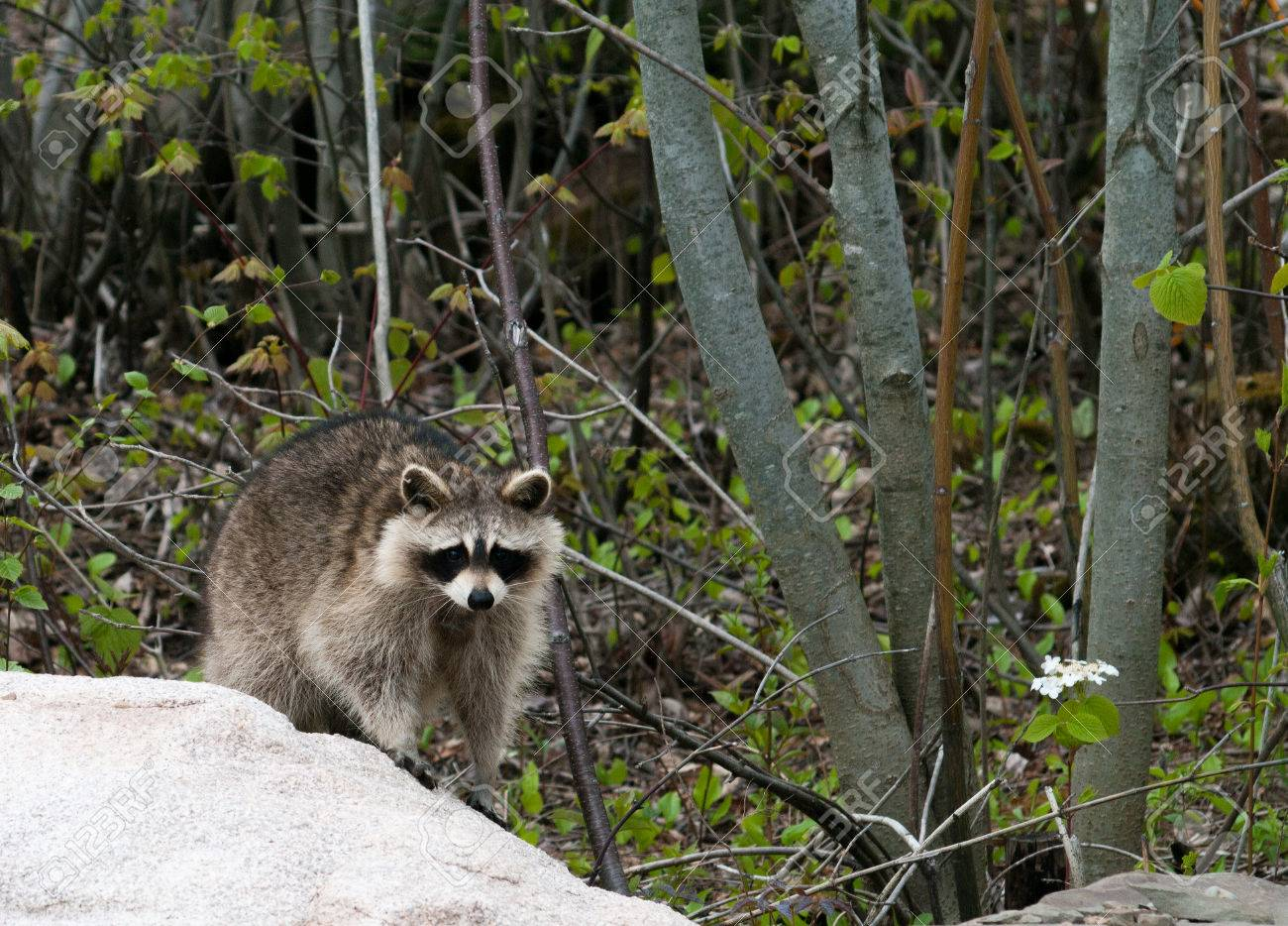 raccoon on rock facing the camera stock photo picture and royalty