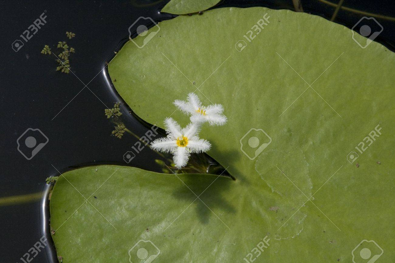 Lily pad with two small white flowers hovering beside stock photo lily pad with two small white flowers hovering beside stock photo 3080885 izmirmasajfo
