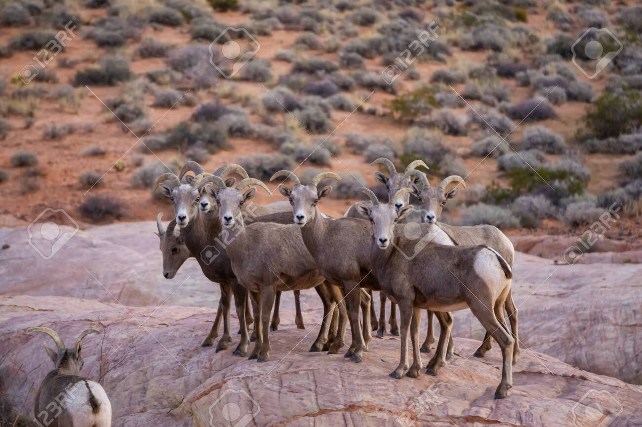 A Family Of Female Desert Bighorn Sheep In Valley Of Fire State Stock Photo Picture And Royalty Free Image Image 137226603