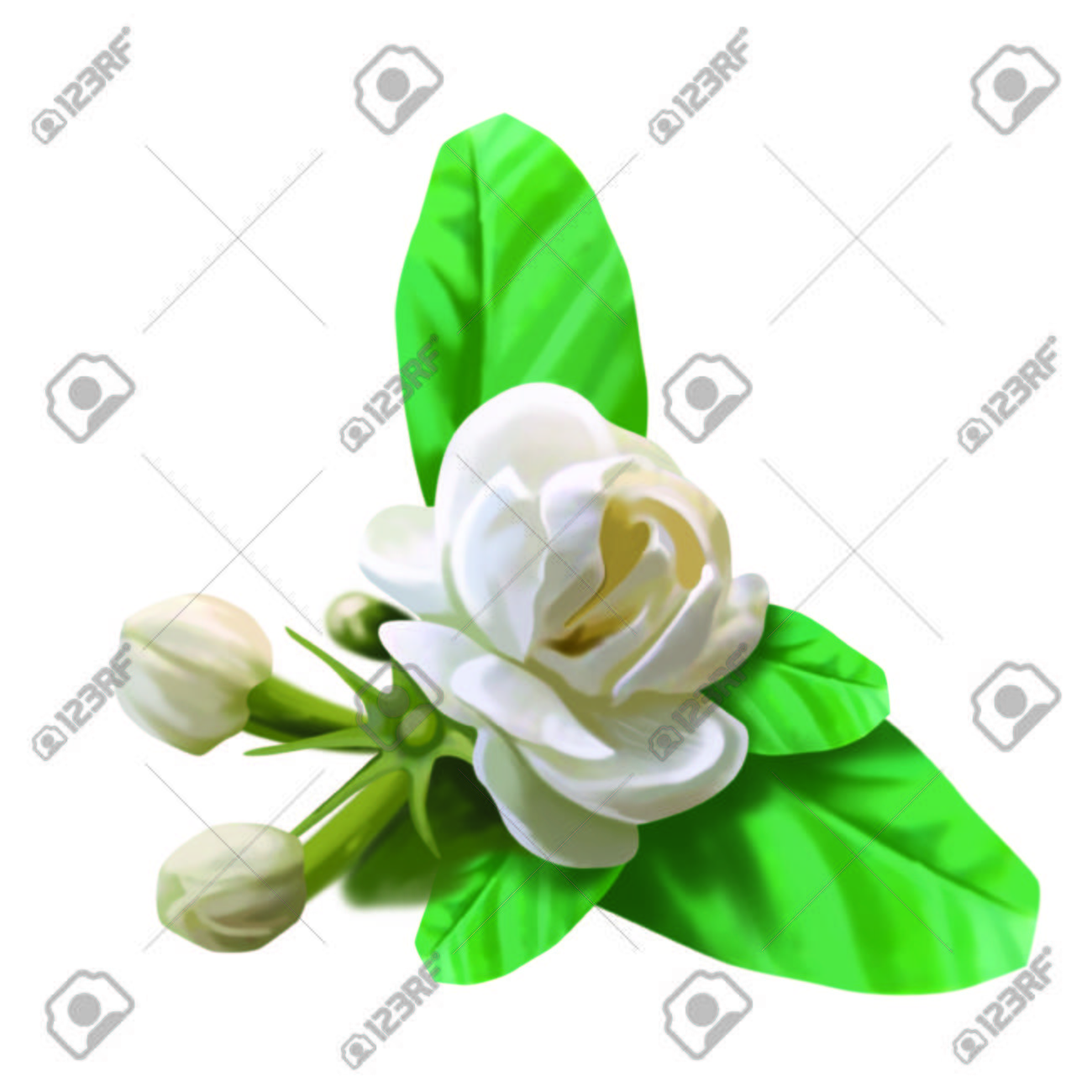 Mogra Flower Stock Photo Picture And Royalty Free Image Image