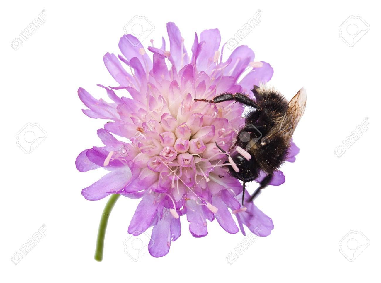 Humblebee Bombus On A Pincushion Flower Knautia Arvensis Stock