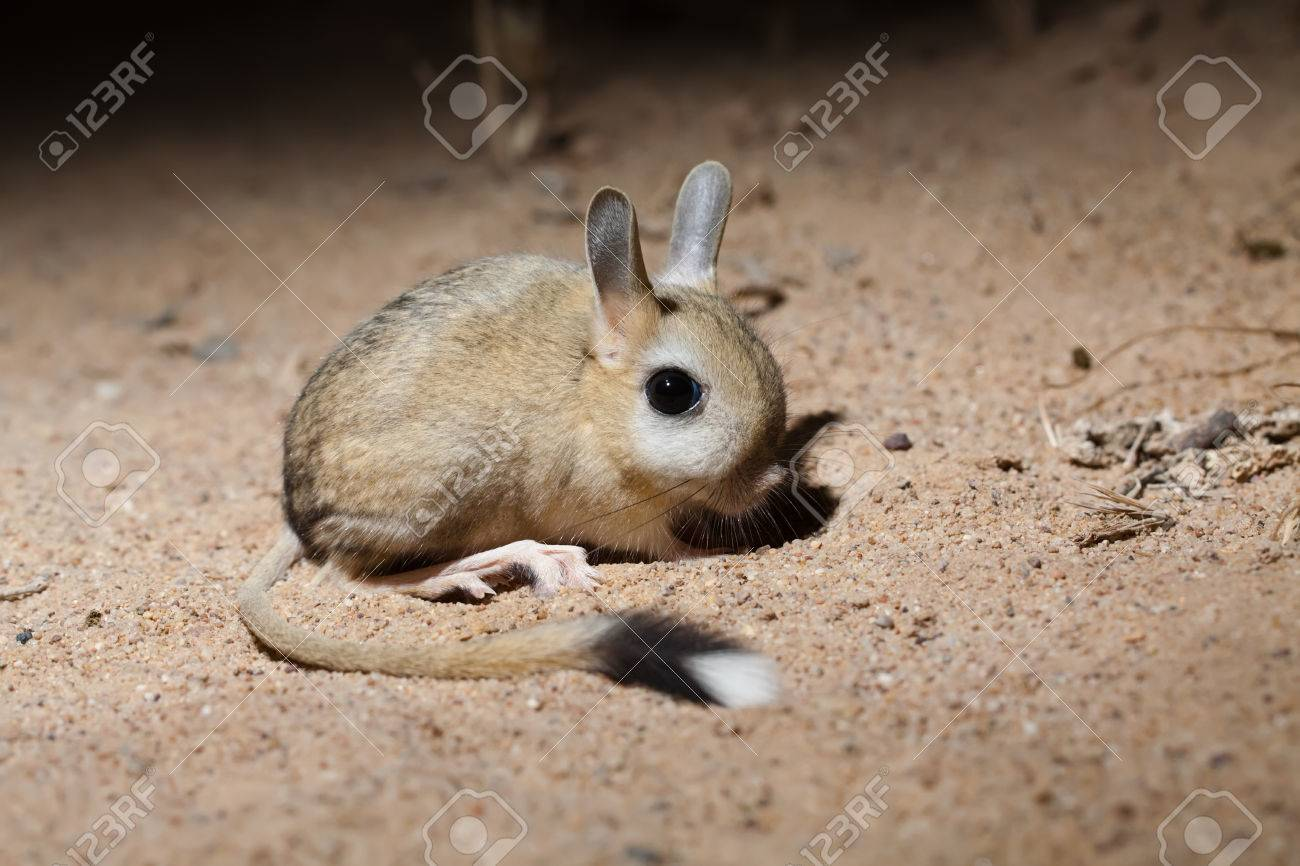 portrait of small five toed jerboa allactaga elater in desert