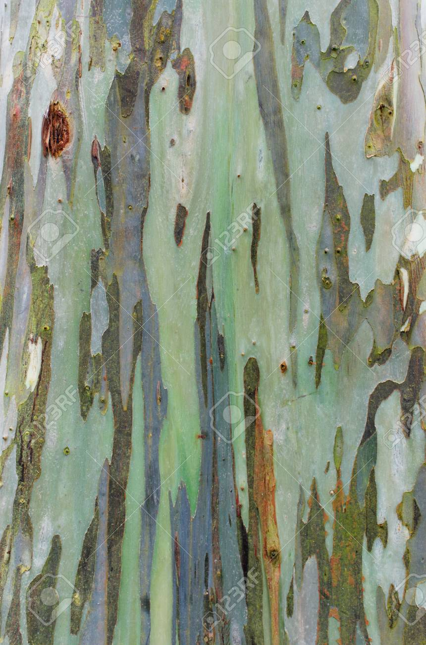 Bark Texture Of Eucalyptus Tree Stock Photo, Picture And Royalty ...