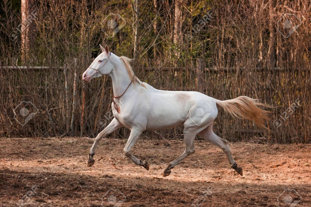 Buy Akhal Cremello teke pictures pictures trends