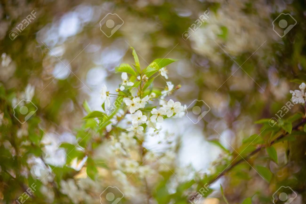 Blooming branches of apple tree  Made by famous soviet lens Helios
