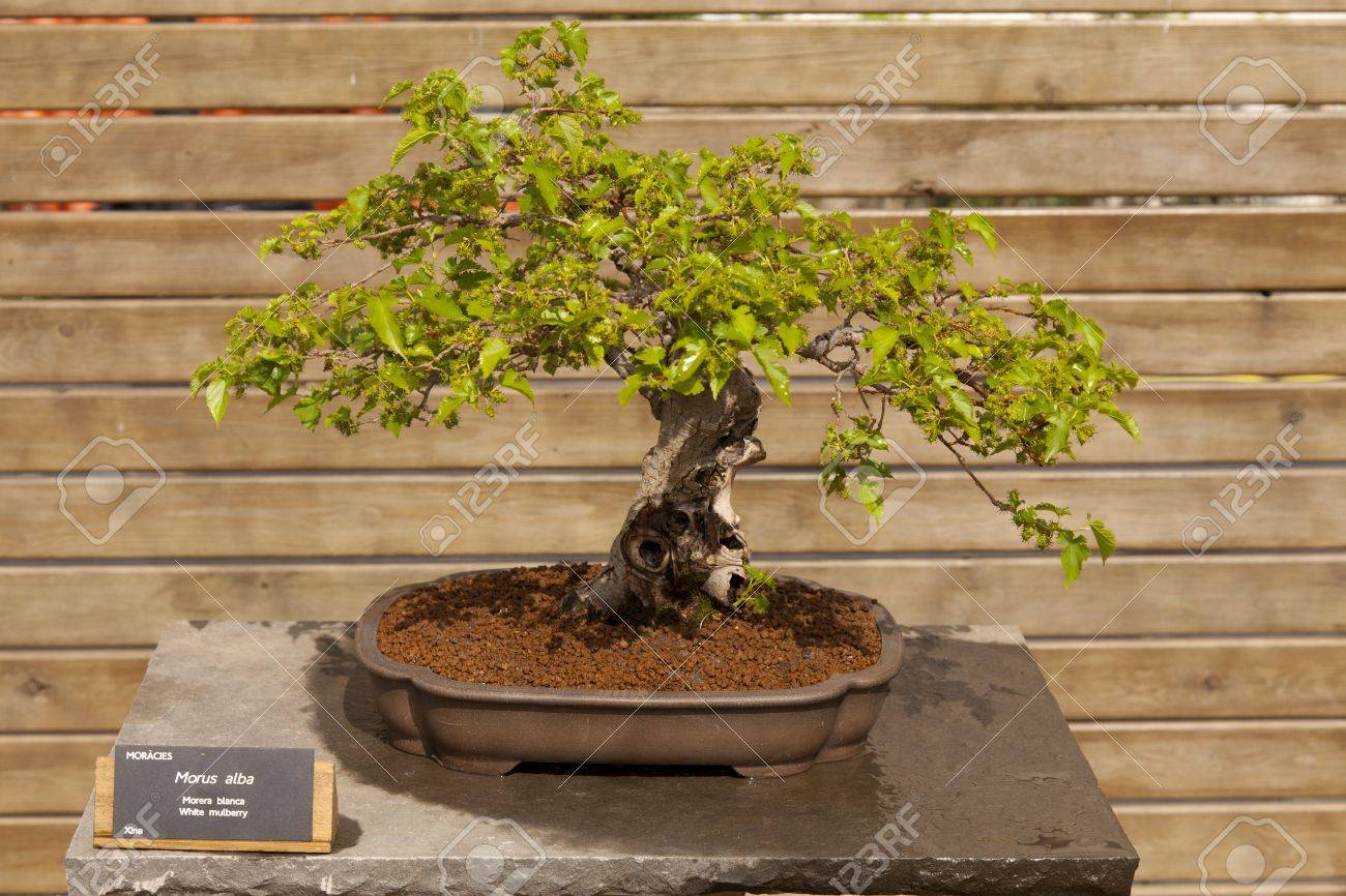 Bonsai Morus alba, known as white mulberry, is a short term size and rapid growth Stock Photo - 13527374