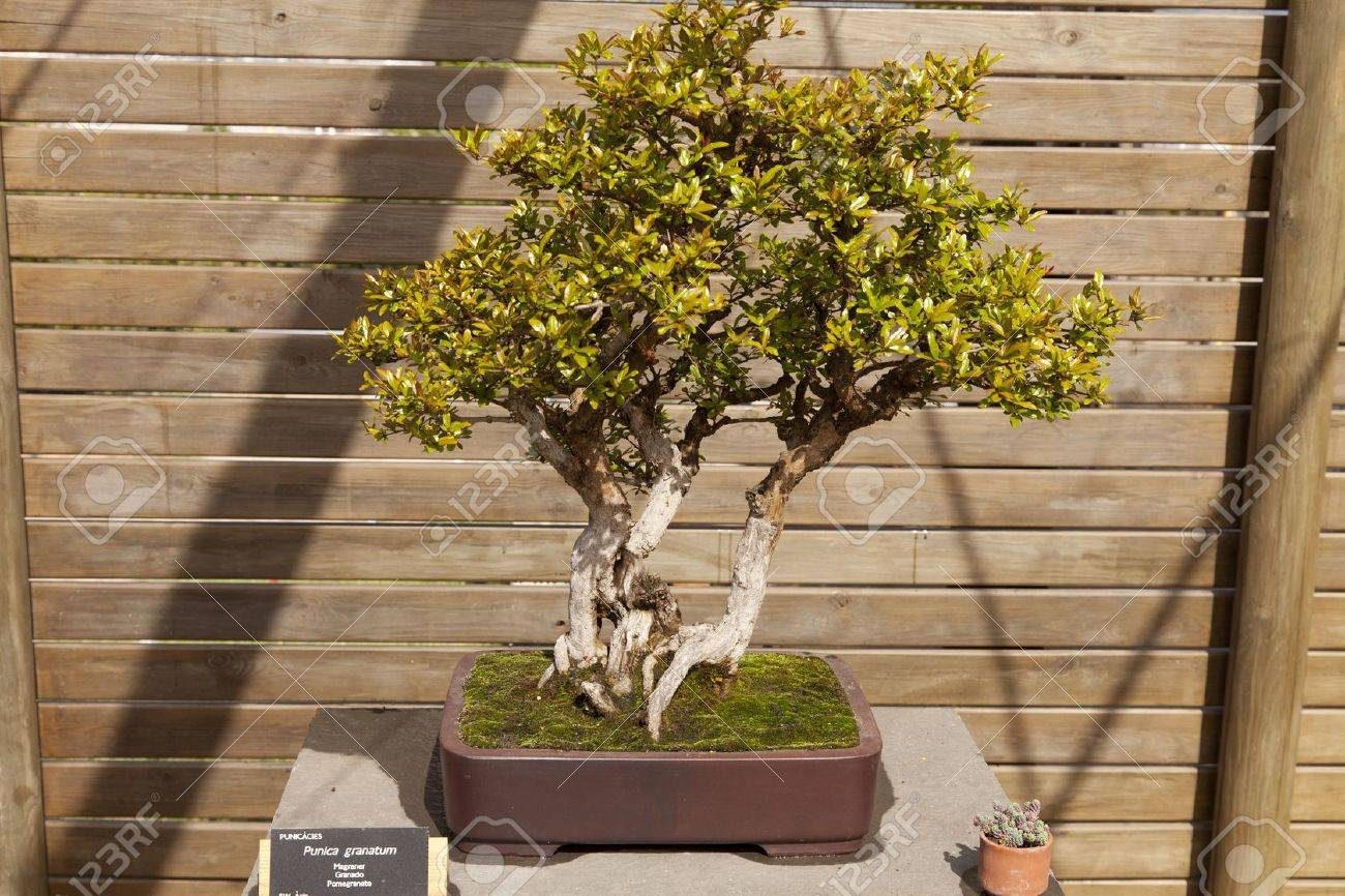 Bonsai Punica granatum, the pomegranate is a branched shrub or small tree Stock Photo - 13527375