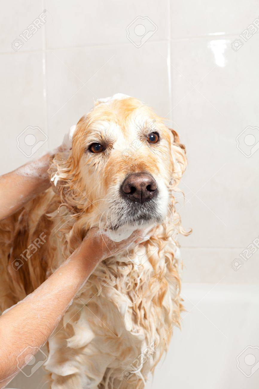 A dog taking a shower with soap and water - 19986136