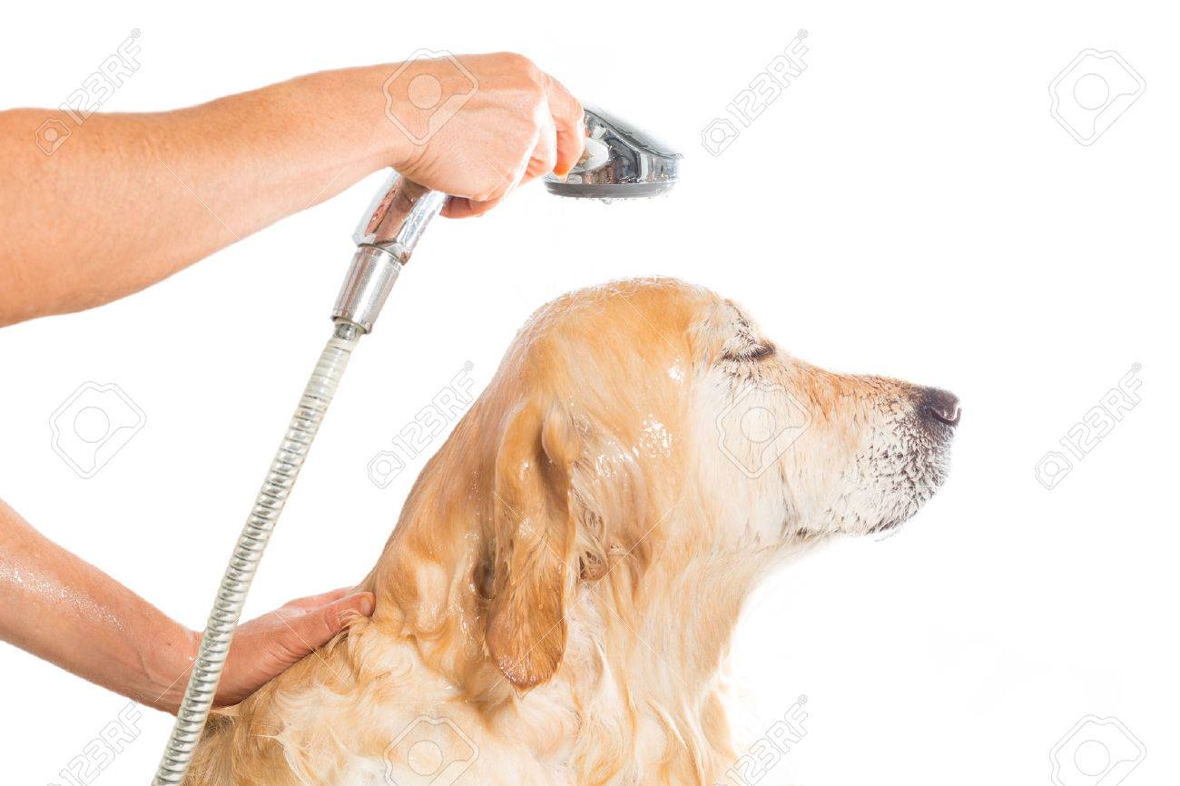 A Dog Taking A Shower With Soap And Water Stock Photo   22414408