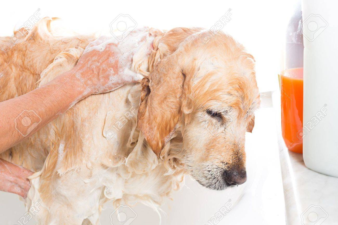A Dog Taking A Shower With Soap And Water Stock Photo   22414438