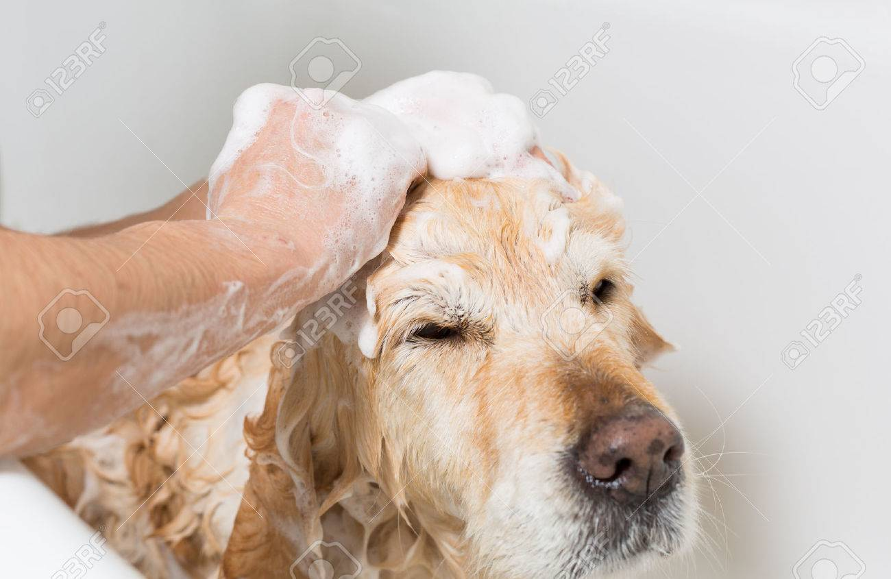 A Dog Taking A Shower With Soap And Water Stock Photo   24824995