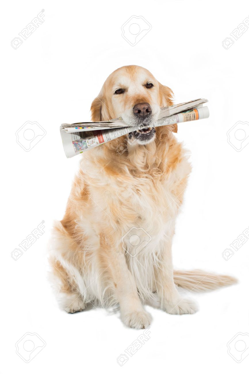 Beautiful Golden Retriever dog with a newspaper in his mouth - 25759225
