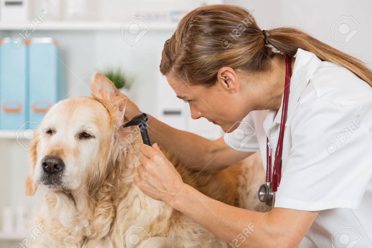 Veterinary conducting an inspection of the ear to a Golden Retriver clinic - 43004383