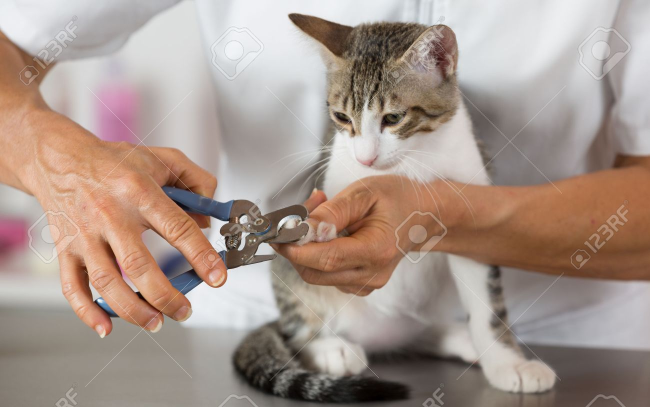 Cat In A Veterinary Clinic Hairdresser Cutting Nails Stock Photo ...