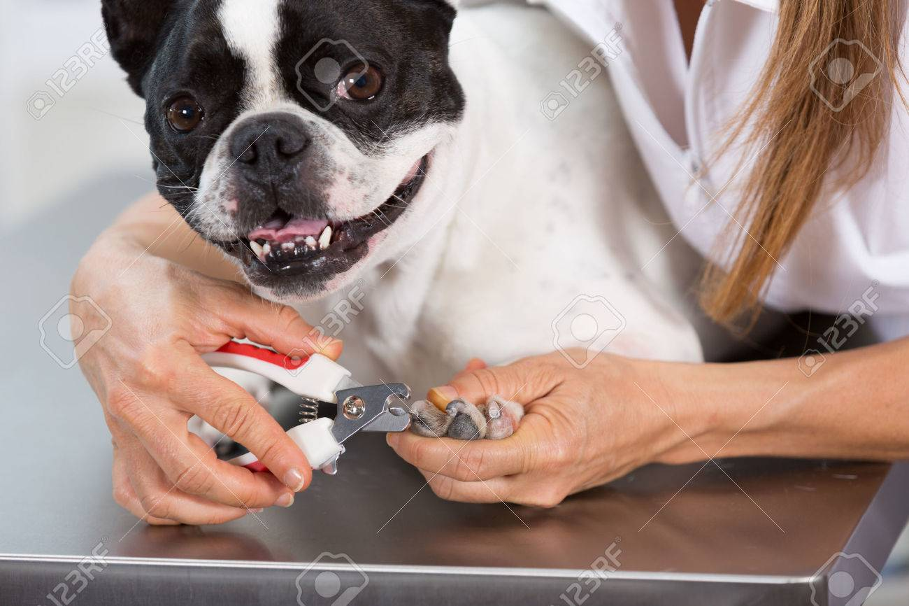 French Bulldog in the canine hairdresser cutting his nails - 44633582