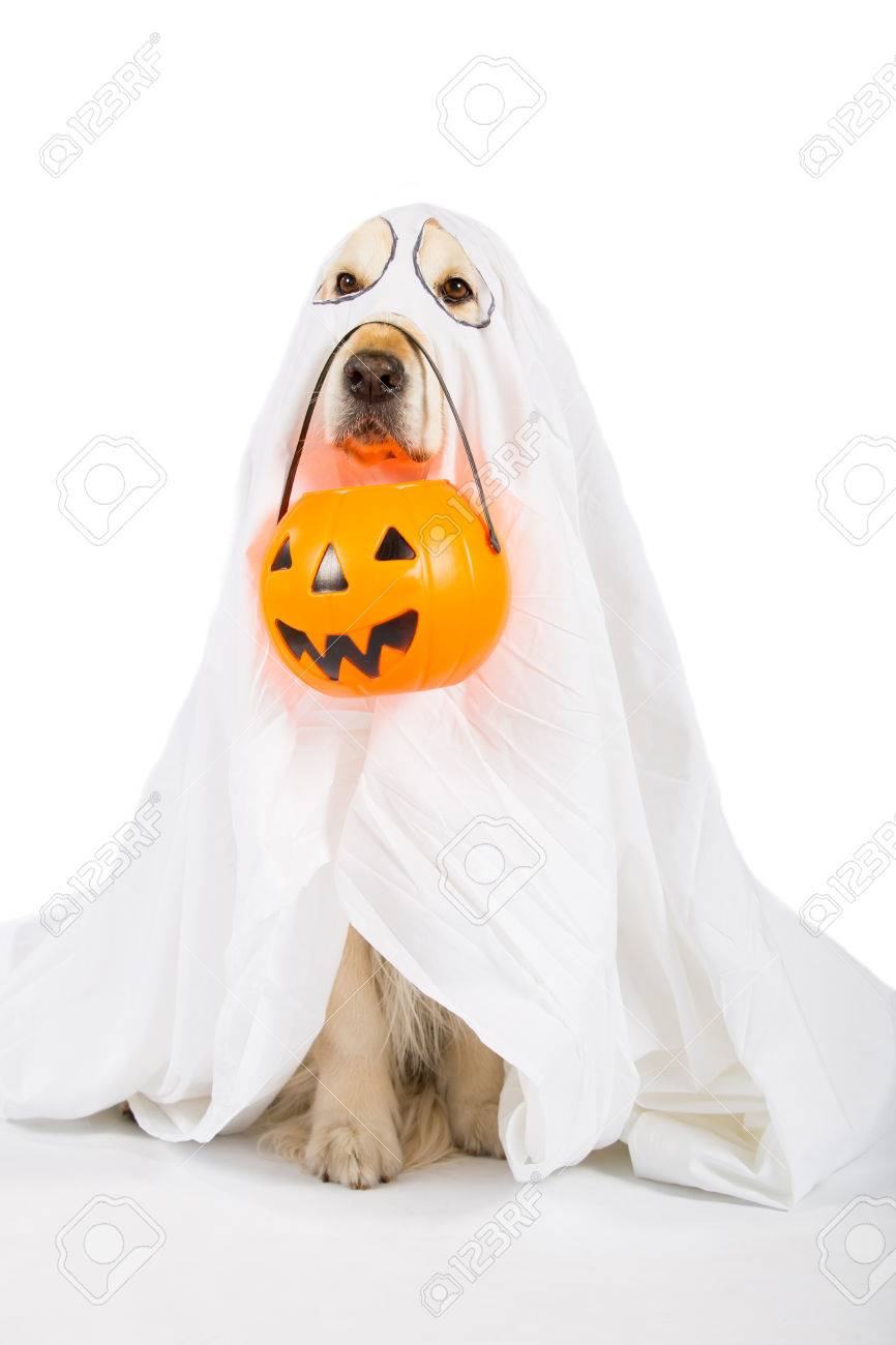 golden retriever disguised as a ghost with a halloween pumpkin stock photo 65537497