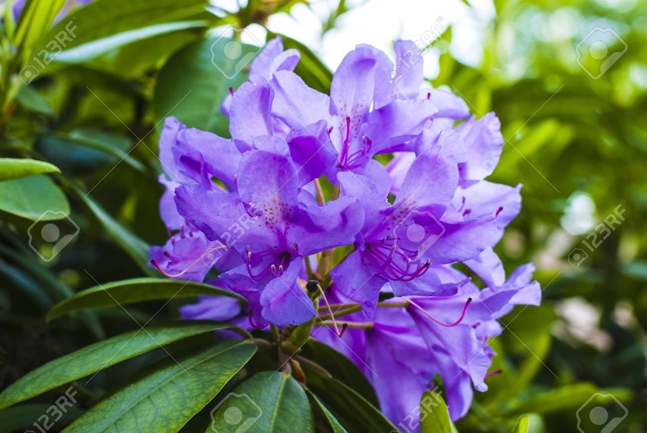 Flower Bush With Purple Flowers And Green Leaves Stock Photo