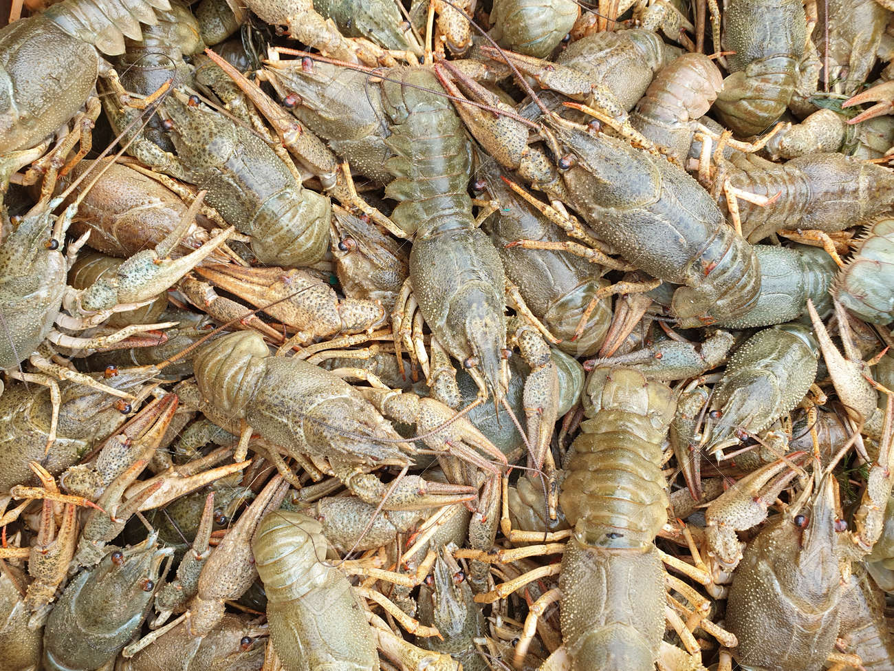 many live crawfish close-up, blank or texture - 157283258