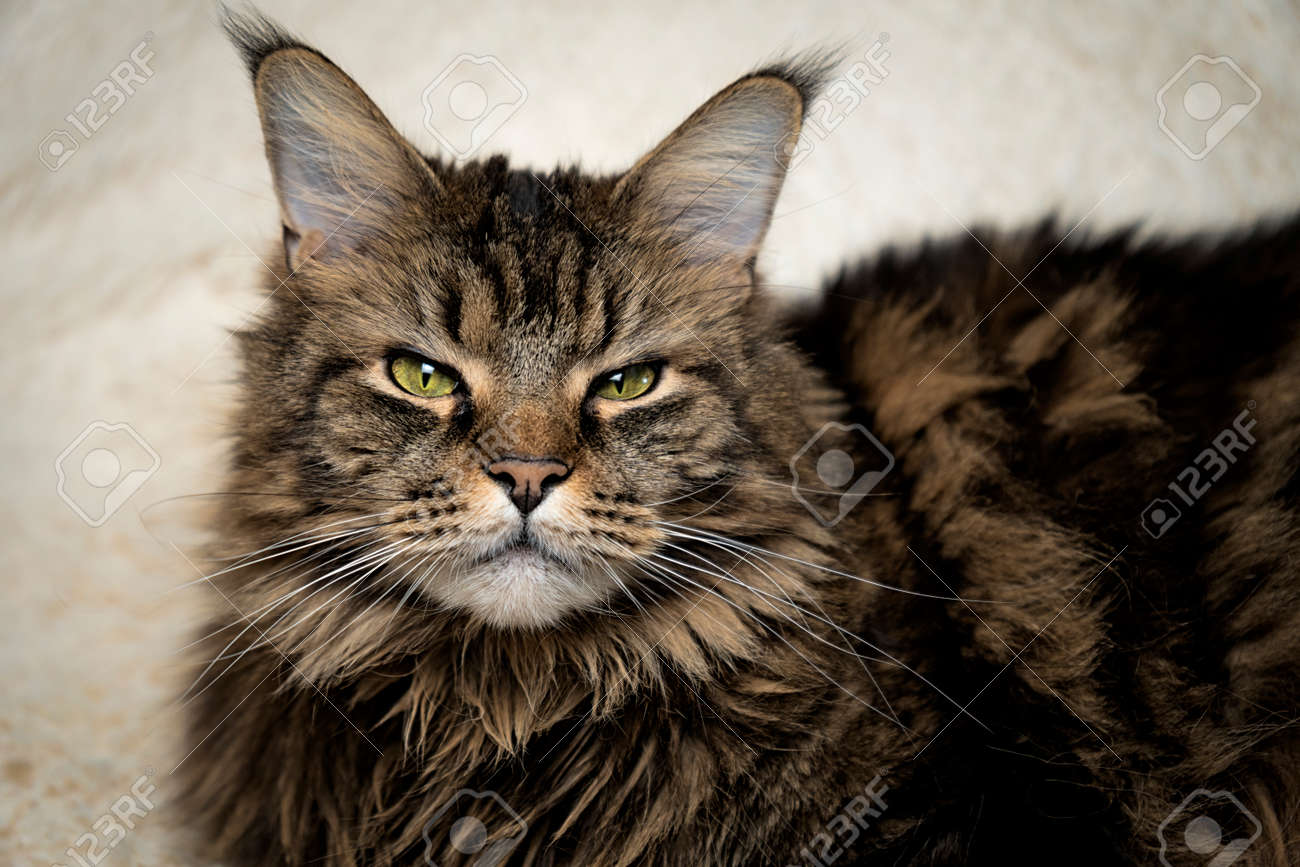 Maine coon portrait, beautiful cat on the couch - 164387821