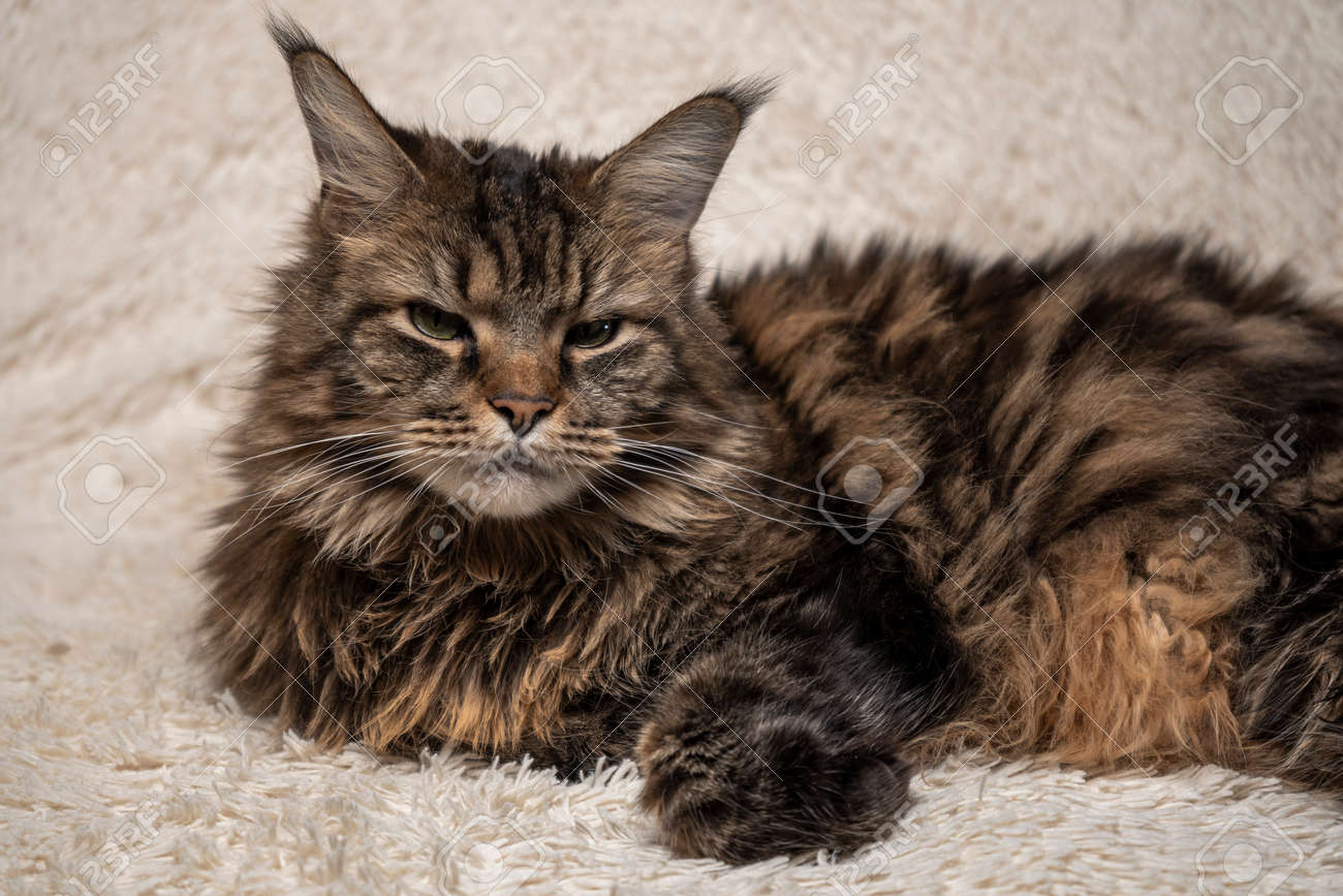 Beautiful cat on the couch, Maine coon portrait - 164732529