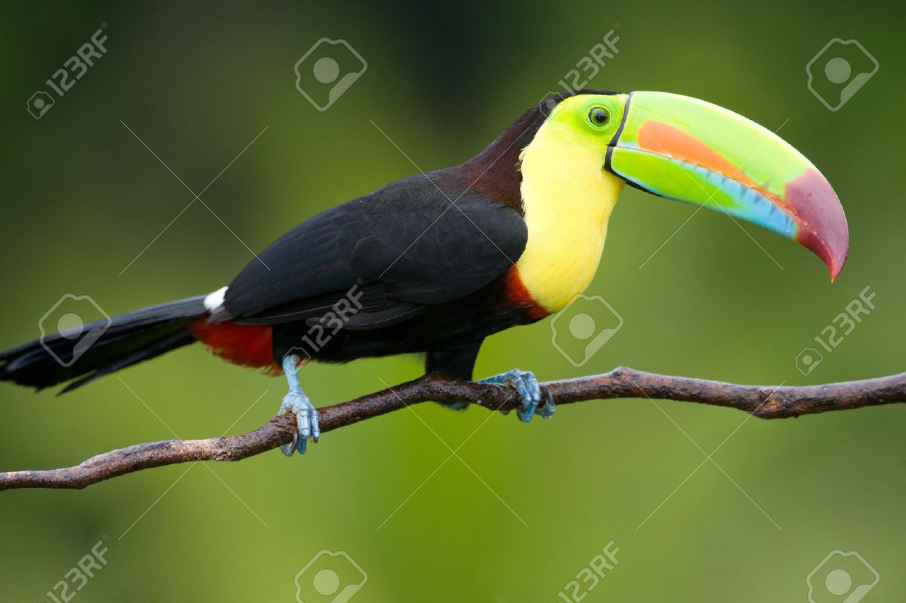 Keel Billed Toucan From