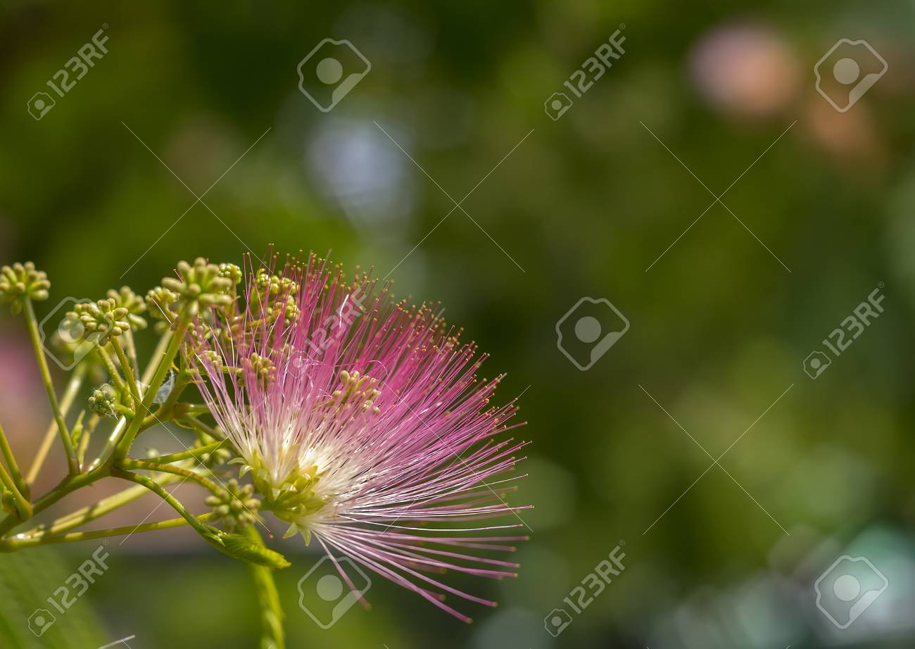 Image Of Cute Fluffy Blooming Pink Flower On Albizia Julibrissin