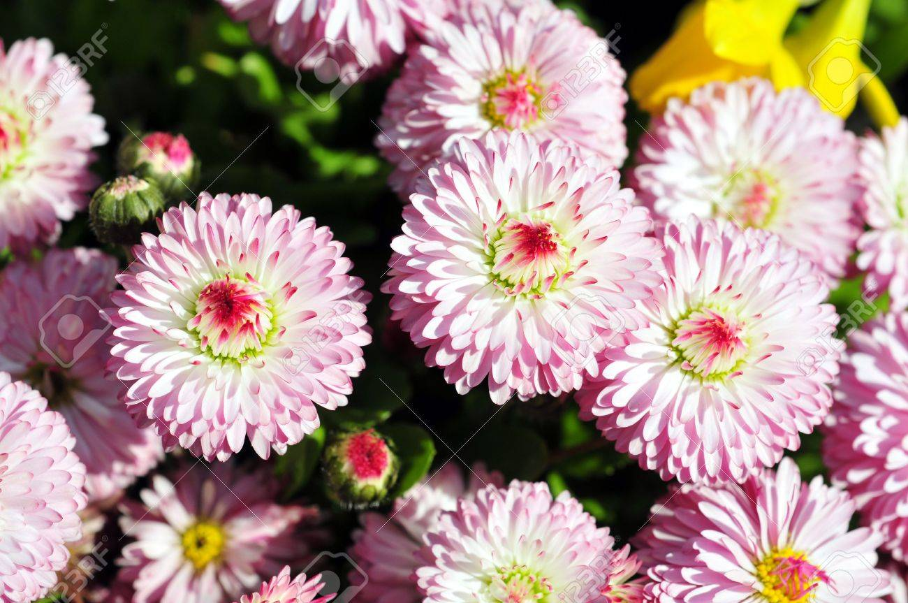 English Daisy Flowers In The Spring At The Butchart Gardens In