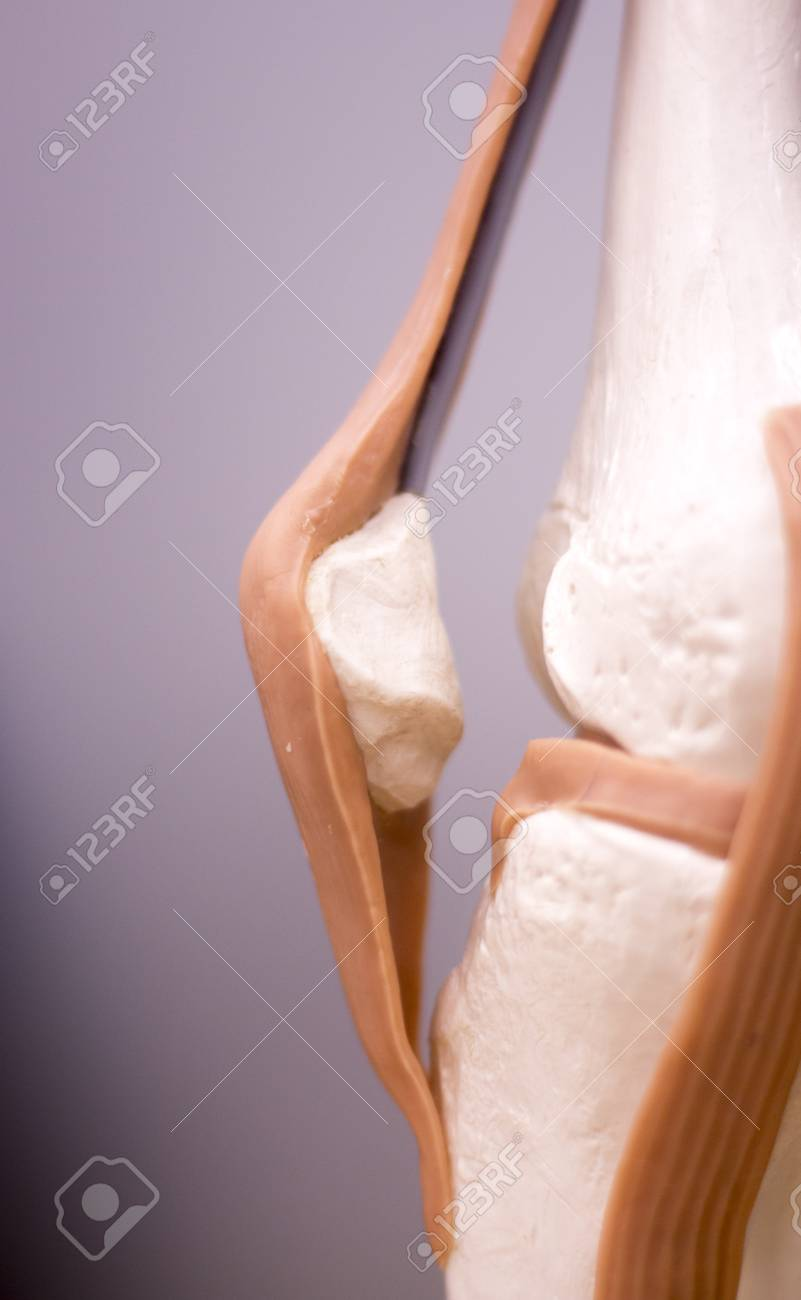 Knee And Meniscus Medical Study Student Anatomy Model Showing