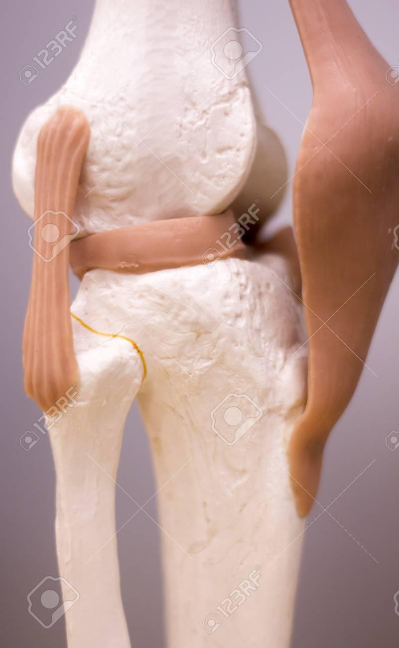 Knie Und Meniskus Medizinische Studie Student Anatomie Modell Zeigt ...