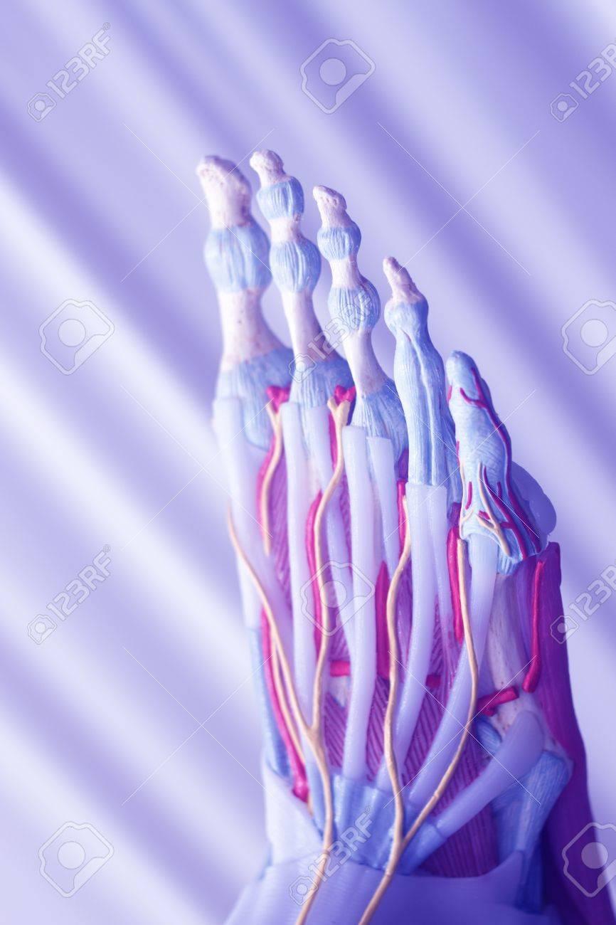 Human Foot Toes Medical Teaching Model Showing Bones Ligaments