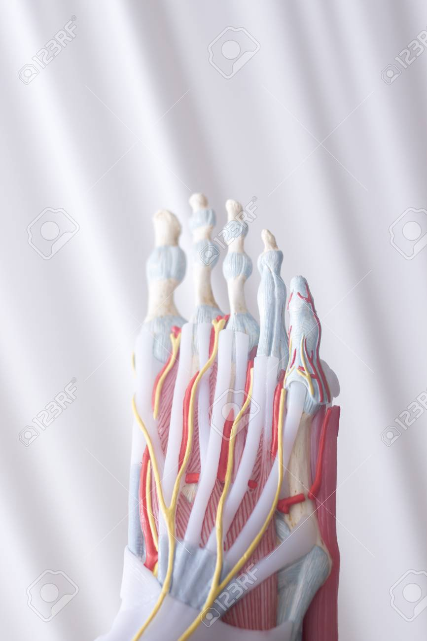 Human Foot Toes Medical Teaching Model Showing Bones Ligaments ...