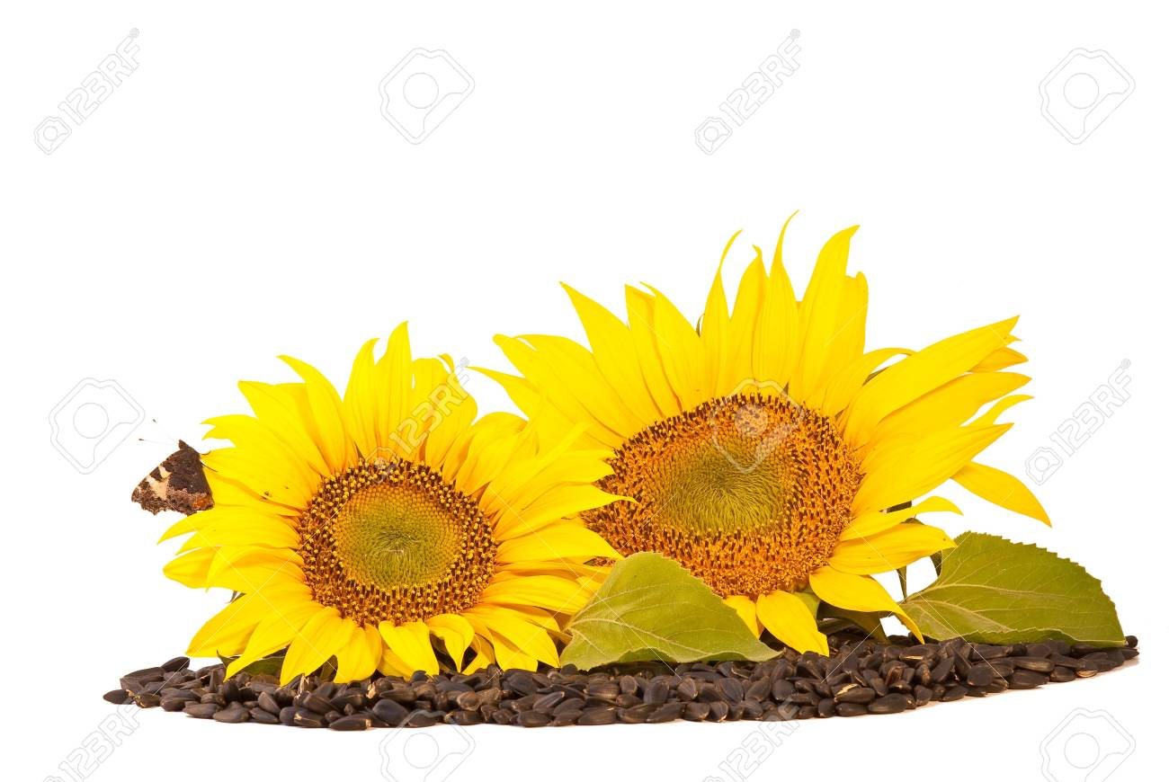 Sunflowers and seeds  isolated on white background Stock Photo - 5321158