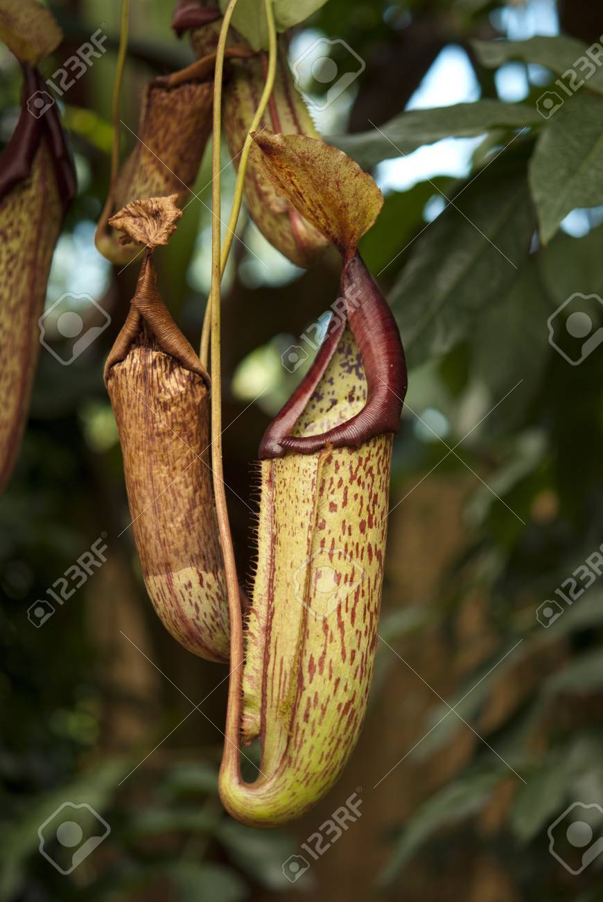 View of a carnivorous pitcher plant Stock Photo - 16040466