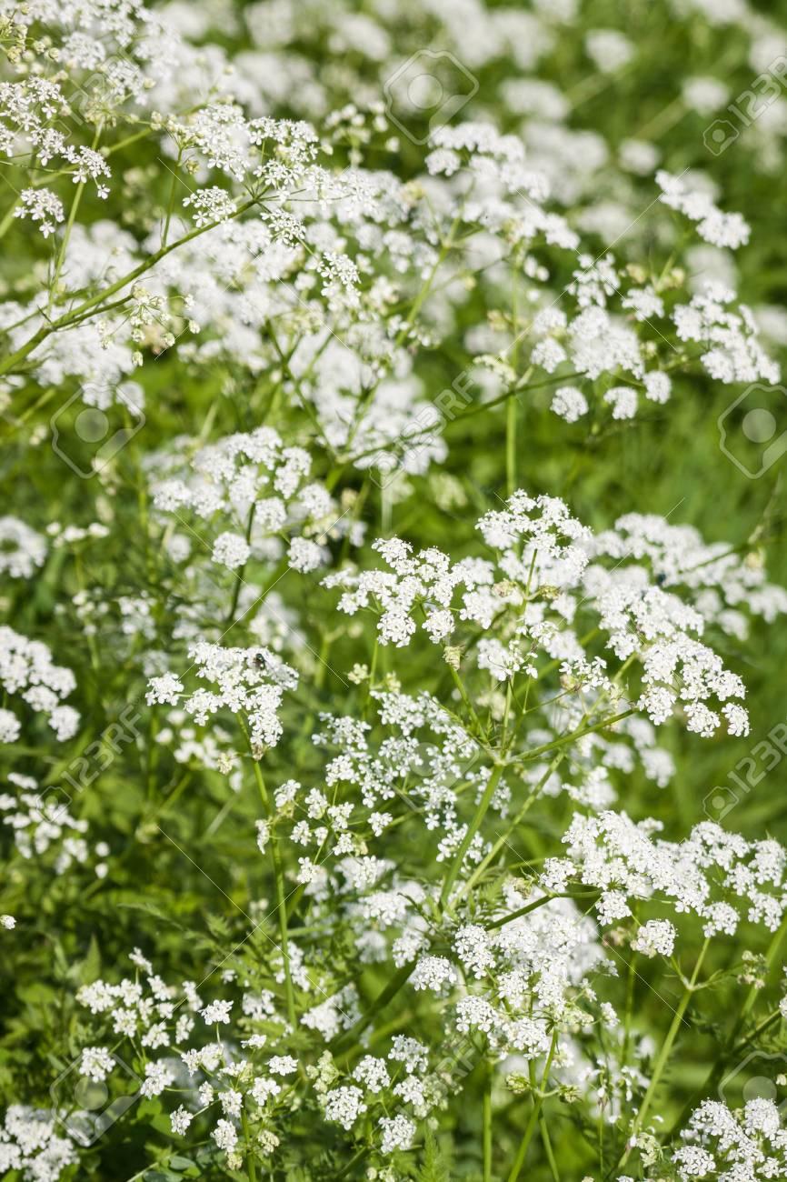 Archivio Fotografico , Primavera in fiore fiori bianchi con profondità di  campo.